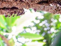 trabajador de la avispa y avispa de la colmena en árbol verde del plumeria en jardín Fotografía de archivo