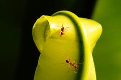 Trabajador de la hormiga Foto de archivo