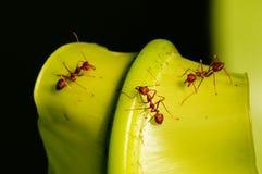 Trabajador de la hormiga Fotos de archivo