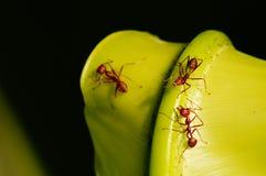 Trabajador de la hormiga Fotos de archivo libres de regalías