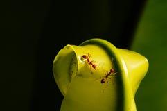 Trabajador de la hormiga Fotografía de archivo libre de regalías