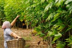 Trabajador de la plantación de la mandioca que lleva una cesta de mimbre Fotografía de archivo libre de regalías
