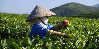 Trabajador de la plantación de té fotografía de archivo