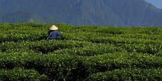 Trabajador de la plantación de té Imagenes de archivo