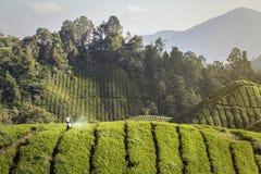 Trabajador de la plantación en un campo del té Imagenes de archivo