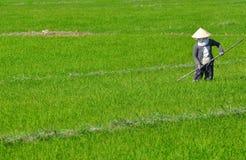 Trabajador del arroz de arroz Imágenes de archivo libres de regalías
