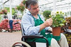 Trabajador del centro de jardinería en la silla de ruedas que sostiene la planta en conserva imagen de archivo libre de regalías