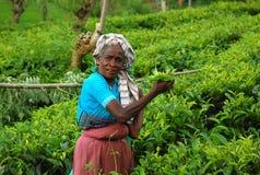 Trabajador del té en la plantación fotos de archivo libres de regalías