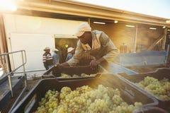 Trabajador del viñedo que descarga las cajas de la uva del camión en lagar Fotos de archivo libres de regalías