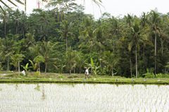 Trabajador en arroz de arroz Imágenes de archivo libres de regalías
