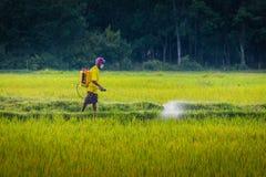 Trabajador en campo del arroz Fotografía de archivo