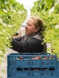 Trabajador en el invernadero para las fresas Imagenes de archivo