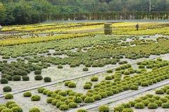 Trabajador en granja del crisantemo Imagenes de archivo