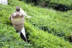 Trabajador en la plantación de té Fotografía de archivo