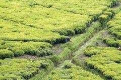 Trabajador en una plantación de té Fotografía de archivo libre de regalías