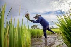Trabajador en verde del arroz archivado imágenes de archivo libres de regalías