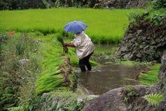 Trabajador filipino en campo del arroz del banaue Imagen de archivo