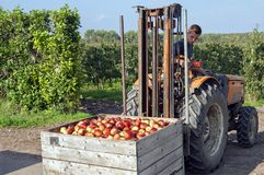 Trabajador polaco en holandés la cosecha de Apple en el Betuwe imagen de archivo libre de regalías