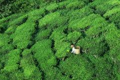 Trabajador que cosecha el té, visión superior Foto de archivo libre de regalías