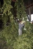 Trabajador que cosecha los saltos usados en la fabricación de la cerveza Fotos de archivo libres de regalías