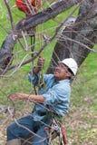 Trabajador que es alzado para arriba en un árbol Imágenes de archivo libres de regalías