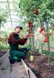 Trabajador que procesa los arbustos de los tomates en el invernadero Foto de archivo libre de regalías