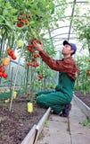 Trabajador que procesa los arbustos de los tomates en el invernadero Imágenes de archivo libres de regalías