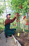 Trabajador que procesa los arbustos de los tomates en el invernadero Imagen de archivo libre de regalías
