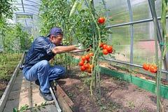 Trabajador que procesa los arbustos de los tomates en el invernadero del polyc Foto de archivo