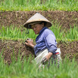 Trabajador que quita malas hierbas en un campo colgante del arroz del Balinese Imagenes de archivo