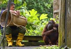 Trabajador que se sienta al lado de orangután después de alimentar diaria en el proyecto Borneo de la rehabilitación Imagen de archivo