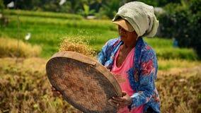 Trabajadora en los risefields de Bali Imágenes de archivo libres de regalías