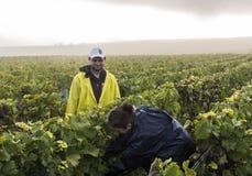 Trabajadores Campagne de la cosecha en Verzernay Imagenes de archivo