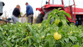 Trabajadores de campo que cosechan el paprika amarillo Fotos de archivo libres de regalías