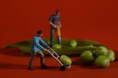 Trabajadores de construcción en imágenes conceptuales de la comida con los guisantes rápidos Imágenes de archivo libres de regalías