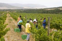 Trabajadores de granja que cosechan las uvas foto de archivo