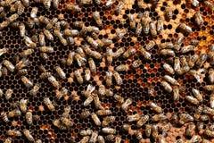 Trabajadores de la abeja de la miel Imagenes de archivo