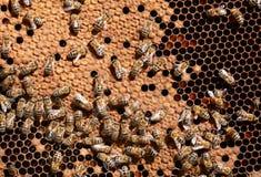 Trabajadores de la abeja de la miel en el panal Fotos de archivo libres de regalías