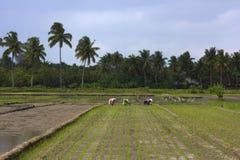 Trabajadores de la agricultura en campo del arroz Fotografía de archivo libre de regalías