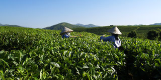 Trabajadores de la plantación de té imagen de archivo libre de regalías