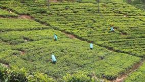 Trabajadores de las plantaciones de té almacen de metraje de vídeo