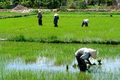 Trabajadores del arroz Imágenes de archivo libres de regalías