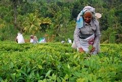 Trabajadores del té en la plantación de té en Sri Lanka Foto de archivo libre de regalías