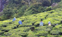 Trabajadores del té que trabajan en jardín de té en Munnar, Kerala, la India Fotografía de archivo libre de regalías