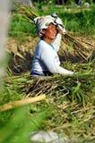 Trabajadores en arroz de la cosecha Imagen de archivo