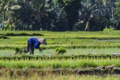 Trabajadores en el campo del arroz Imagen de archivo