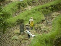 Trabajadores en el campo del arroz imagenes de archivo