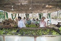 Trabajadores en la plantación de plátano Fotografía de archivo