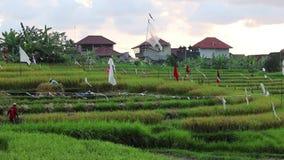 Trabajadores en un campo del arroz almacen de metraje de vídeo