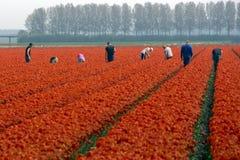 Trabajadores en un campo del tulipán Imagen de archivo libre de regalías